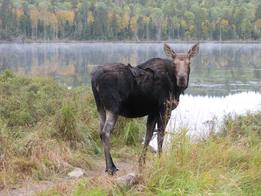 moose at lake